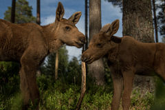 European elk Alces alces two twin calves in bilberry bushes in the forest. European elk Alces alces, in the forest, two young calves in the bilberry bushes in Stock Photo