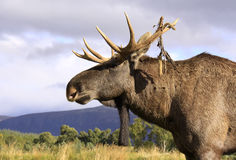 European elk bull head and shoulders profile Royalty Free Stock Image