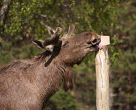 European Elk enjoying licking a salt block Stock Photos