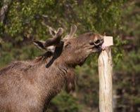 European Elk enjoying licking a salt block Stock Photos
