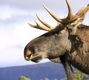 European Elk male head close up Royalty Free Stock Photo