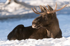 European elk Royalty Free Stock Photography
