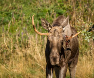 European elk or moose Alces alces bull with antlers Stock Image