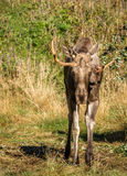 European elk or moose Alces alces bull with antlers Stock Photo