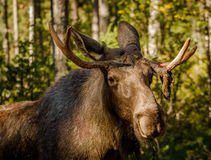 European elk or moose Alces alces bull with velvet antlers royalty free stock photos