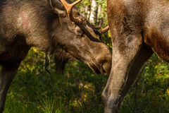 European elk or moose Alces alces bull with velvet antlers Stock Photography