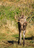 European elk or moose Alces alces bull with velvet antlers Royalty Free Stock Photo