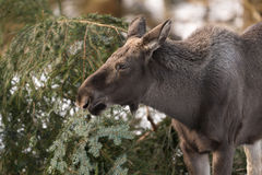 European elk Royalty Free Stock Image