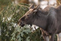 European elk Royalty Free Stock Image