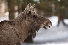 European elk Stock Photos