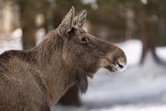 European elk Stock Photos
