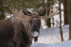 European elk Royalty Free Stock Images