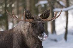 European elk Stock Images