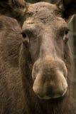 European elk portrait Stock Photography