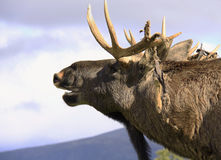 European Elk roaring Royalty Free Stock Photos