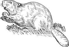 European or Eurasian beaver. Hand sketched drawing illustration of a European beaver or Eurasian beaver done in black and white Royalty Free Stock Image