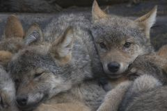 European grey wolf pups cuddling together, Canis lupus lupus. European euroasian grey wolf pups cuddling together dozing, Canis lupus lupus stock photos