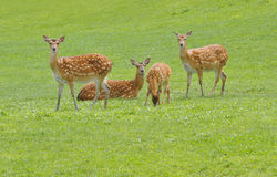 European Fallow Deer Royalty Free Stock Images