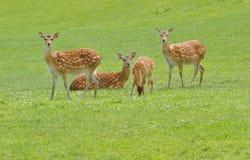 European Fallow Deer. Herds of fallow deer at pasture royalty free stock images