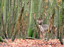 European fallow deer. In the forest Royalty Free Stock Image