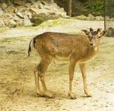 European fallow-deer Royalty Free Stock Photo