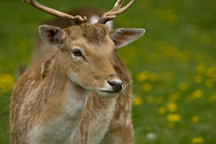 European Fallow Deer Stock Photography