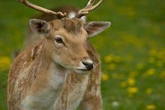 European Fallow Deer. Close up of a European Fallow Deer grazing on grass stock photography
