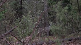 European fallow deer looking into the camera in the forest. Couple of deers in the bushes by the woods, wildlife.  stock footage