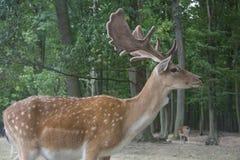 European fallow deer in nature, dama dama royalty free stock photography