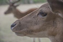 European fallow deer in nature, dama dama royalty free stock photo