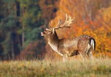 European fallow deer during rut Stock Photos