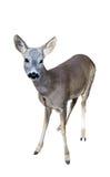 European fallow deer Stock Photo