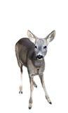 European fallow deer Stock Photos