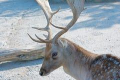 European fallow deer Royalty Free Stock Image