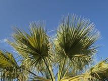 European Fan Palm, Mediterranean Fan Palm from Sardinia, Italy Royalty Free Stock Photos