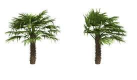 European Fan Palms Royalty Free Stock Image