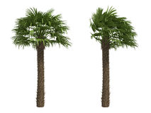 European Fan Palms Stock Images