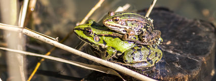 European female and male frogs mating in water for breeding. European female and male frogs in couple mating on a stone of a pond with water and reed for animal Stock Photography