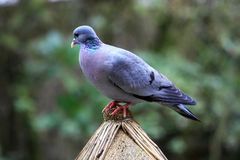 European Feral Pigeon Royalty Free Stock Image