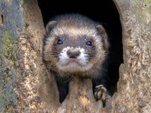 European Ferret portrait Stock Images