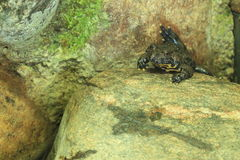 European fire-bellied toad. The european fire-bellied toad on the rock Royalty Free Stock Image