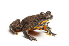 European Fire-bellied Toad (Bombina bombina) Stock Photos