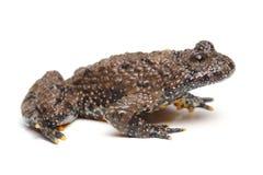 European Fire-bellied Toad (Bombina bombina) Stock Photography