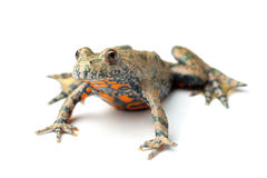 European Fire-bellied Toad (Bombina bombina) on white stock image