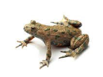 European Fire-bellied Toad (Bombina bombina) on white Stock Images