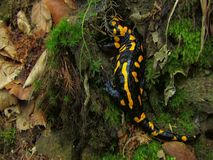 European fire salamander (Salamandra salamandra) Royalty Free Stock Images