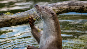 European fish otter stock photos