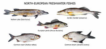 European fishes Royalty Free Stock Image