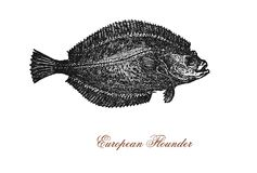 European flounder, flatfish, vintage illustration Royalty Free Stock Photo