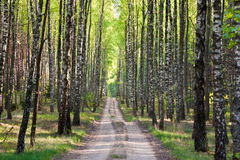European forest Stock Photography